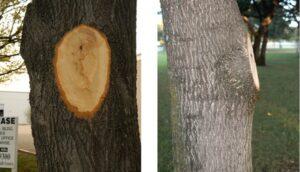 Nieprawidłowe cięcia drzew tzw. flush cut