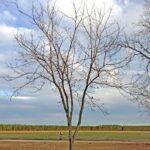 Drzewo bez wyraźnego przewodnika