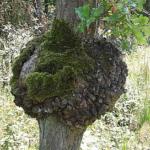 Zrakowacenie pnia drzewa